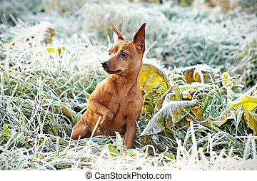 Red Miniature Pinscher - The Miniature Pinscher...