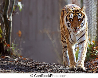 Bengal Tiger at zoo - Bengal Tiger prowling at zoo with soft...