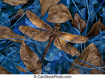 Wet Dragonfly On Blue & Gold Leaves - Raindrops illuminated...