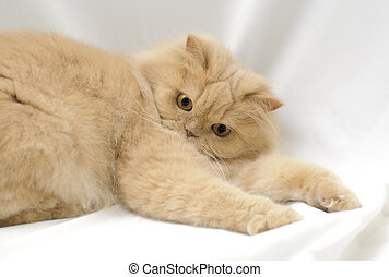 Playing persian cat; shoot in photo studio