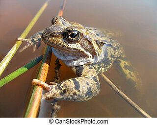 Grass frog Rana temporaria - Close up Grass frog Rana...