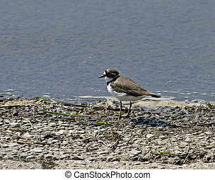 Little Ringed Plover on shore of Weir Wood Reservoir