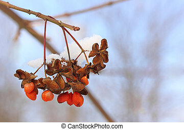 red winter berry with snow