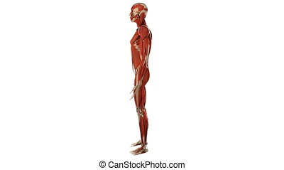 Male skeleton with muscles, anatomically accurate 3d render,...
