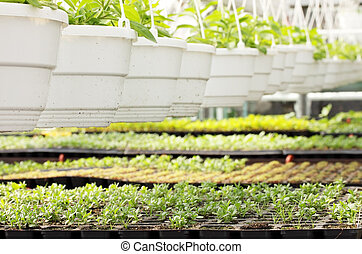 Young plants in hot-house - Young plants are grown in the...