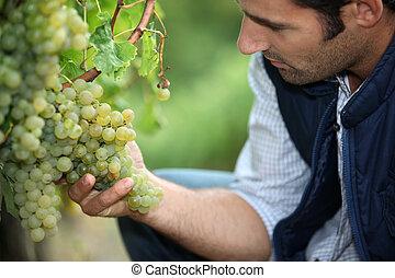 hombre, trabajando, viña