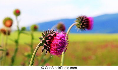 Close-up of the thistle in meadow