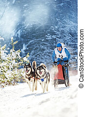 Winter Sled dog racing ? musher and Siberian husky - Sled...
