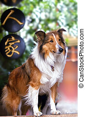 Cute rough collie standing at the yard door waiting - Cute...