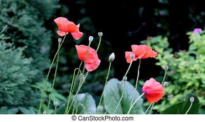 POPPY -  Flowers