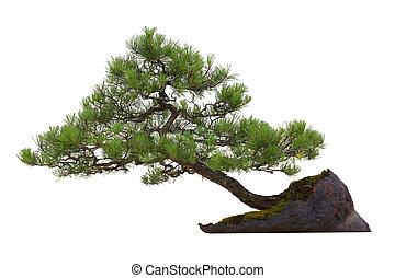 Bonsai - houseplant - Scots Pine (Pinus sylvestris) bonsai...