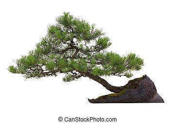bonsai, -, cserepes növény