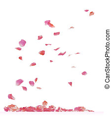rose petals - Falling rose petals Isolated on white...