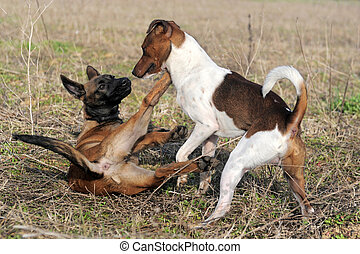 playing dogs - picture of a purebred puppy belgian sheepdog...