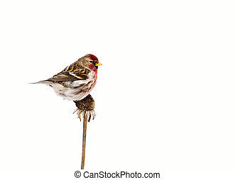 Male common redpoll, isolated - Close up image of a...