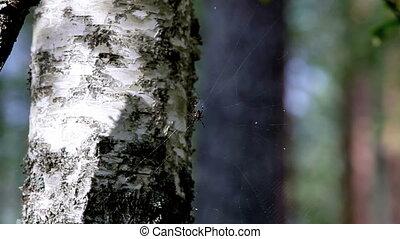 spider - Forest spider in wait on nature