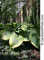 Hostas in Urban Park - Shade loving hosta plants growing in...
