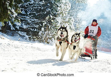 Winter Sled dog racing musher and Siberian husky - Sled dog...