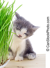 Kitten eating the grass, isolated on white