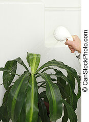 House Plant Shower - Tropical houseplant being sprayed with...
