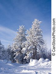 Evergreen fur-trees and pines covered by a snow on the eve of Christmas