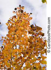yellow foliage and branches of birch on a background sky