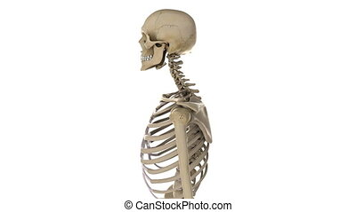 Rotating male skeleton closeup - Rotating male skeleton,...