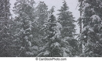 Snowstorm in forest. - Heavy snow falling on conifers....
