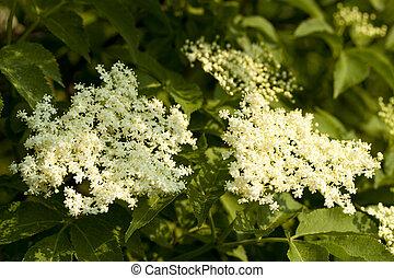 elderberry - white developed elderberry on background green...