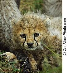 Cheetah Cub - Cheetah cub face looking at camera