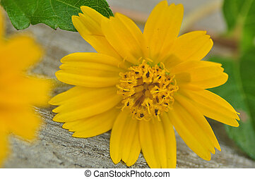 Dailsy flower - Yellow flower, Dailsy flower on the table...