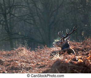 Red deer stag portrait in Autumn Fall Winter forest landscape