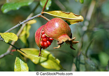 Ripe colorful pomegranate fruit