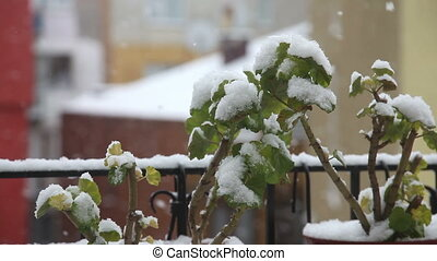 Snow Fall 3 HD 1080p - snow falls on the flower, Shoot Canon...
