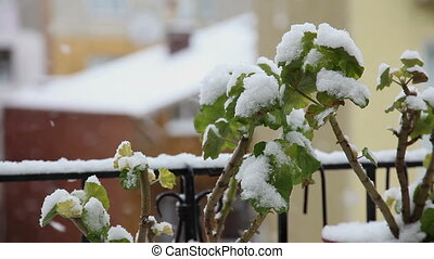 Snow Fall 2 HD 1080p - snow falls on the flower, Shoot Canon...
