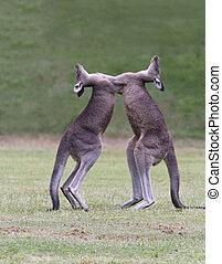 Kangaroos Spar - Two, wild kangaroos rear up and spar...