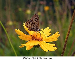 yellow garden daisy flower