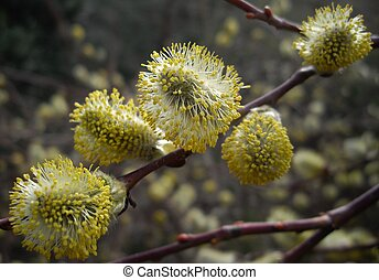 close up of pussy willow flower