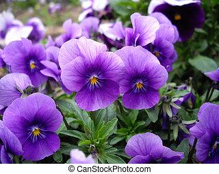 Blue violas - Blue viola tri-color flowers