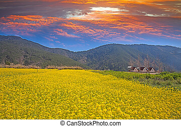Rape field and sunset