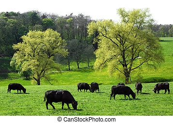Idyllic green landscape with cows grazing - Happy cows...