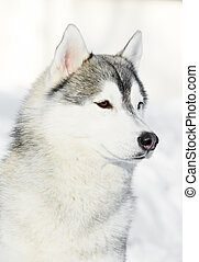 Siberian husky dog portrait at winter - Portrait of young...