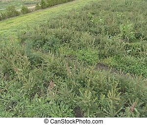 evergreen tree saplings - Field planted with small evergreen...
