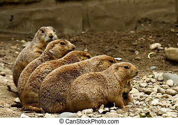 Groundhogs sitting in a row - Five groundhogs sitting in a...
