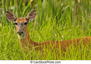 White Tailed Deer - Young white tailed deer in the tall...