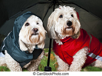 Dressed up dogs under umbrella - Two coton de tulear dogs in...