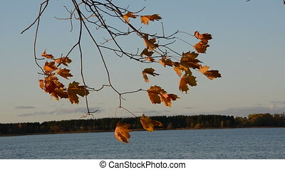 autumn maple leaves in the wind and lake
