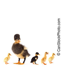 The black small duckling isolated on a white background