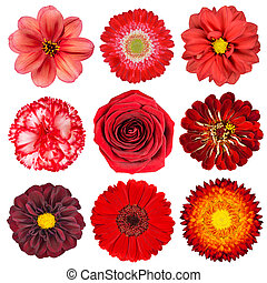 Selection of Red Flowers Isolated on White - Selection of...