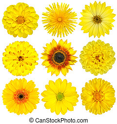 Collection of Yellow Flowers Isolated on White. Various set...